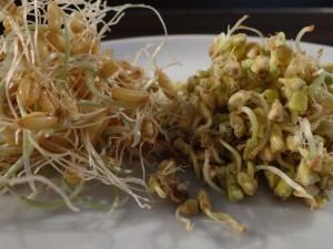 Weizen- und Buchweizensprossen