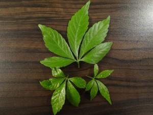Blätter des Jiaogulan