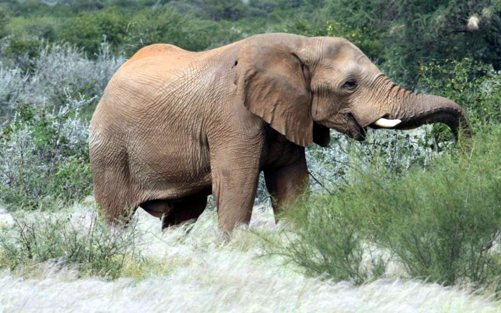 Haare auf Elefanten Hintern